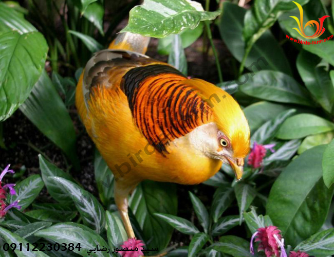 قرقاول لیمویی (  yellow golden pheasant )